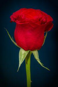 rosa cultivando plantas