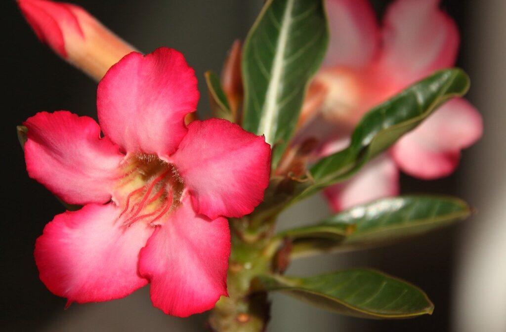 como cuidar de rosas do deserto